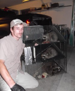 Raccoon-Removal-Franklin-Raccoon-Trapper-Brentwood