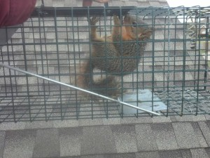Squirrel Removal Trapping & Control Brentwood Bellevue Green Hills